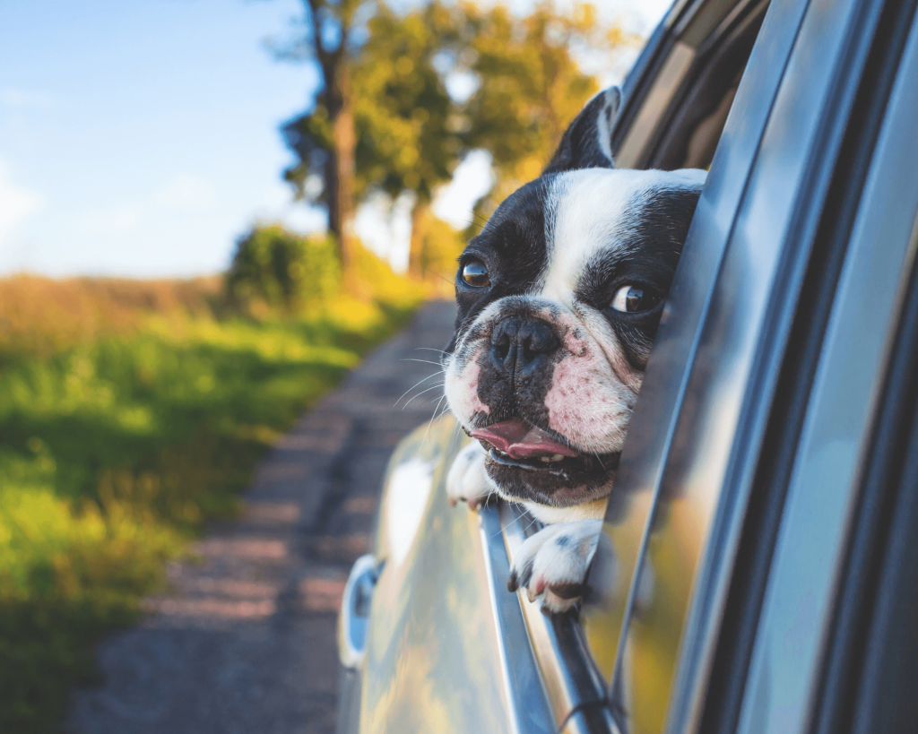Transporter des chiens en voiture
